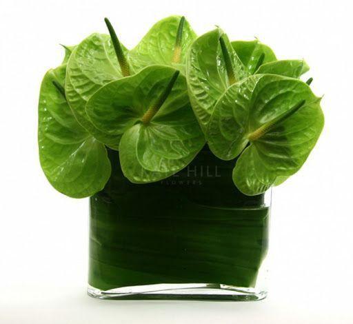 Anthurium grüne Blätter ohne Blüten jedoch glänzend und schön