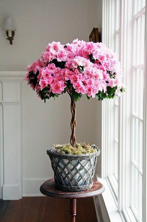 Azalea_1-Herrliche Zimmerpflanzen