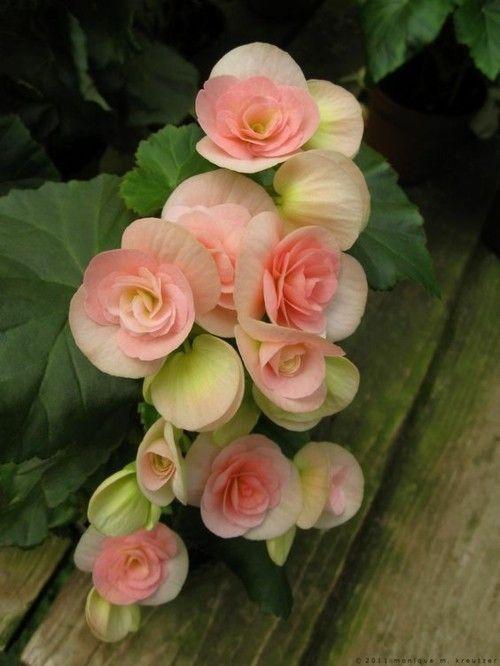 Begonie schöne Blume