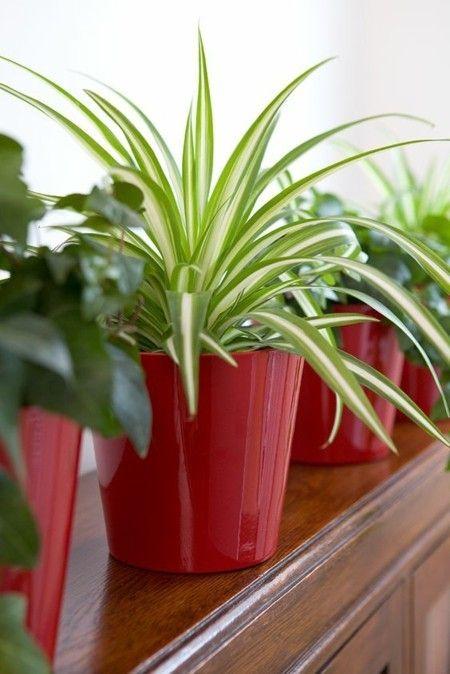 Chlorophytum Grünlilie die beliebteste Zimmerpflanzen - hierzulande