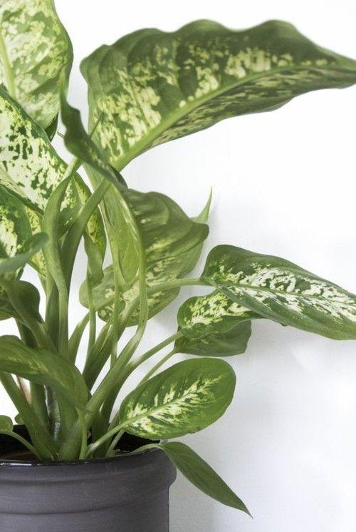 Dieffenbachie schön gefärbte Blätter grün