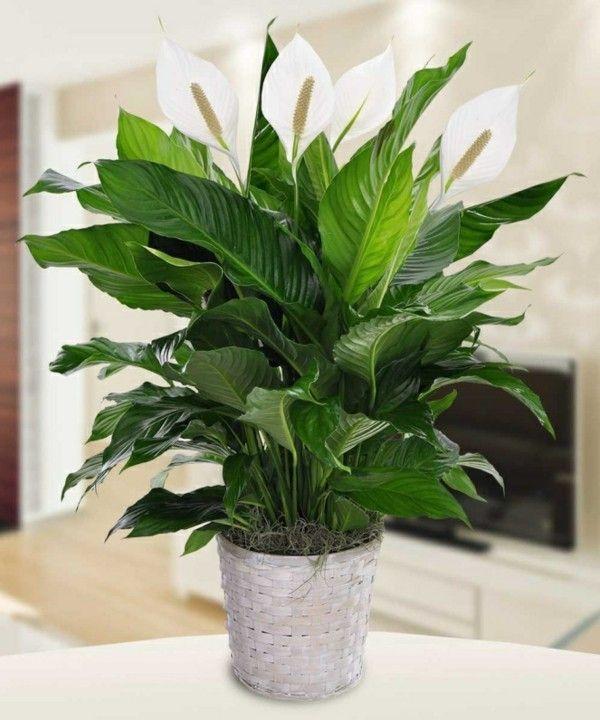 Friedenslilie Einblatt Spathiphyllum
