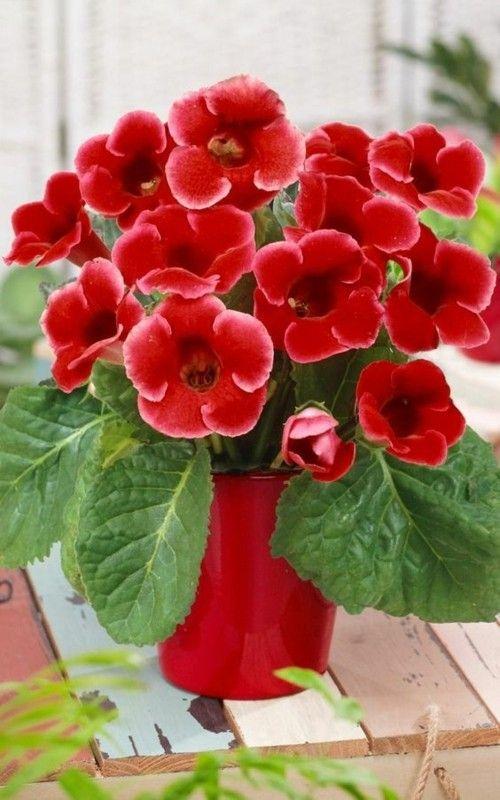 Gloxinia_1-Herrliche Zimmerpflanzen