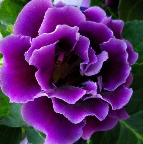 Gloxinia_2-Herrliche Zimmerpflanzen