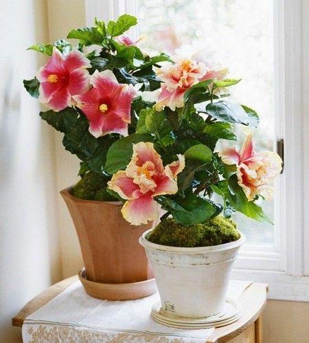 Hibiscus Nationalblume Malaysias