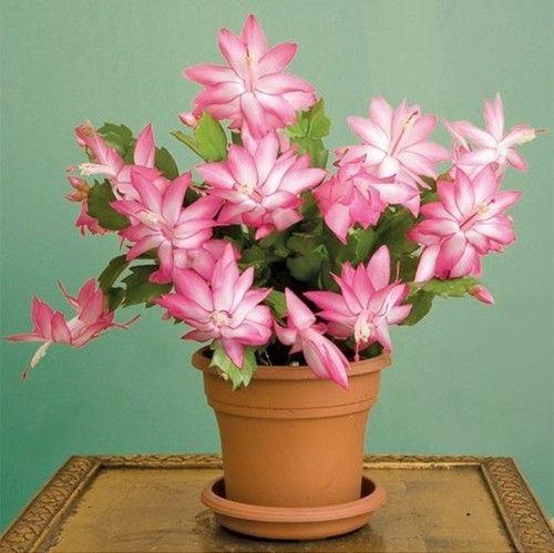 Schlumbergera_-Herrliche Zimmerpflanzen