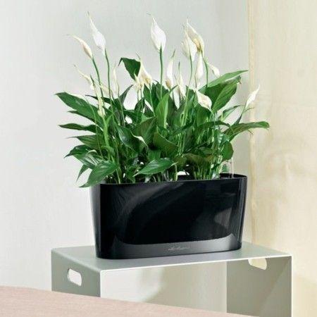 Spathiphyllum Einblatt neues Glück bringen zu Ihnen nach Hause