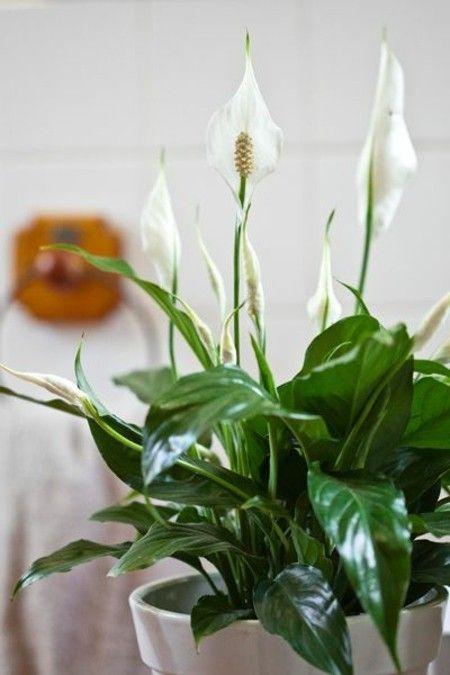 Spathiphyllum Einblatt weiße Blüten edel - erhaben