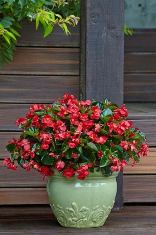 begonia benariensis garten dekoideen
