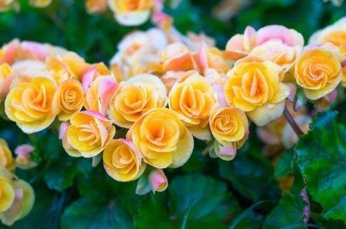 schöne Zierpflanze Begonie
