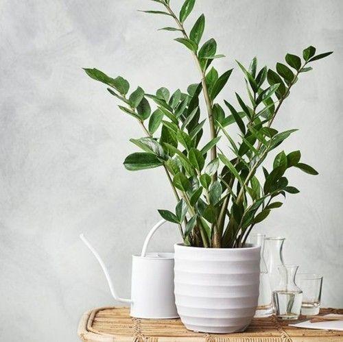 zamioculcas-schöne-zimmerpflanze