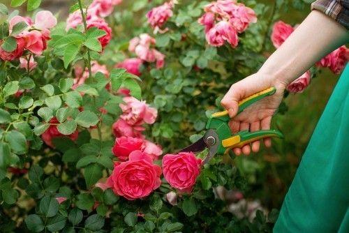 rosen schneiden und richtig pflegen was sie noch dar ber wissen sollten. Black Bedroom Furniture Sets. Home Design Ideas